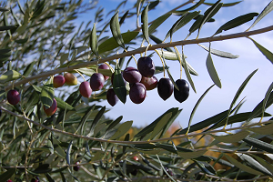 Production of olive for olive oil historically high, exceeding 940 thousand tons - January 2020